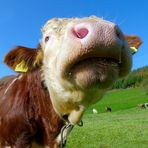 *) Ein Stier zum Knutschen