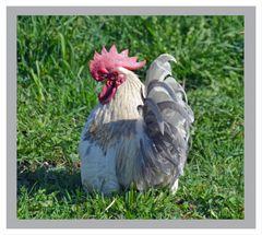 ein stolzer Hahn