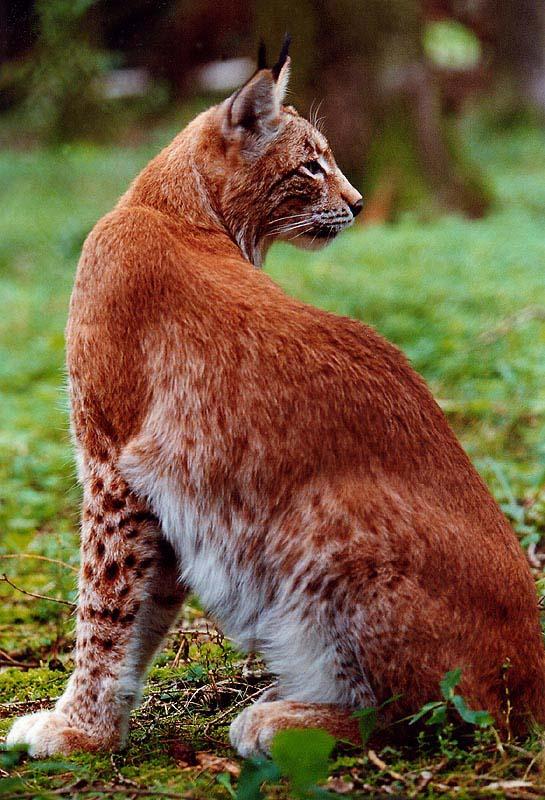 Ein stolzes Tier