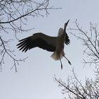 Ein Storch in Aktion