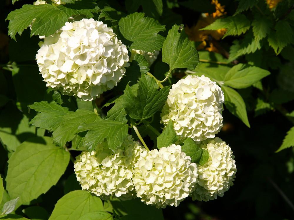 Ein strauch voll weißer blüten - wir nennen ihn schneeball-strauch ...