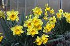 ein Strauß gelber Osterglocken zur Einstimmung auf kommende Tage