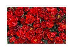Ein Strauss roter Tulpen