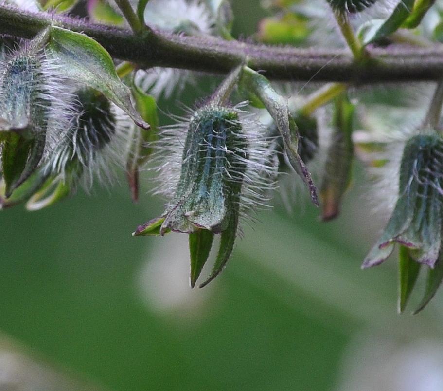 Ein Südamerikanische Gewürzkraut das ich lieber als Blütenpflanze sehe...