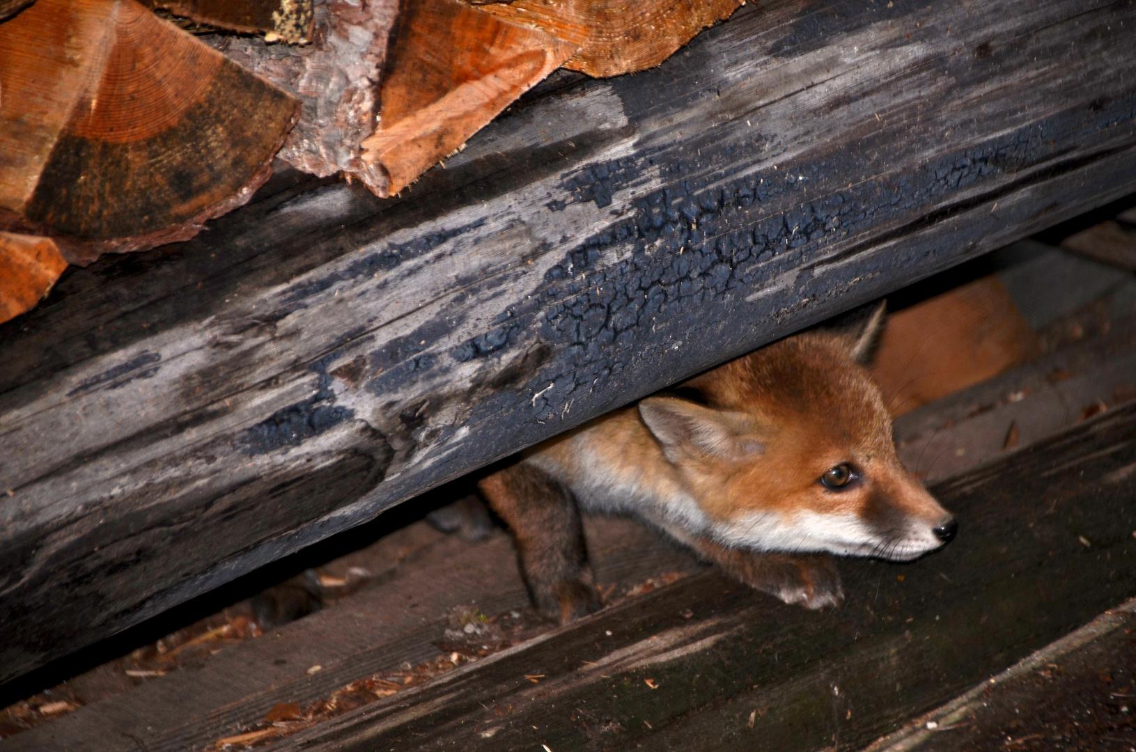 Ein süßes Fuchs-Baby