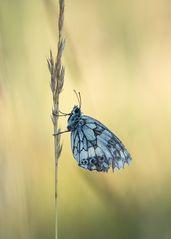 Ein Tag beginnt und das Leben eines Schmetterlings ist bald zu Ende