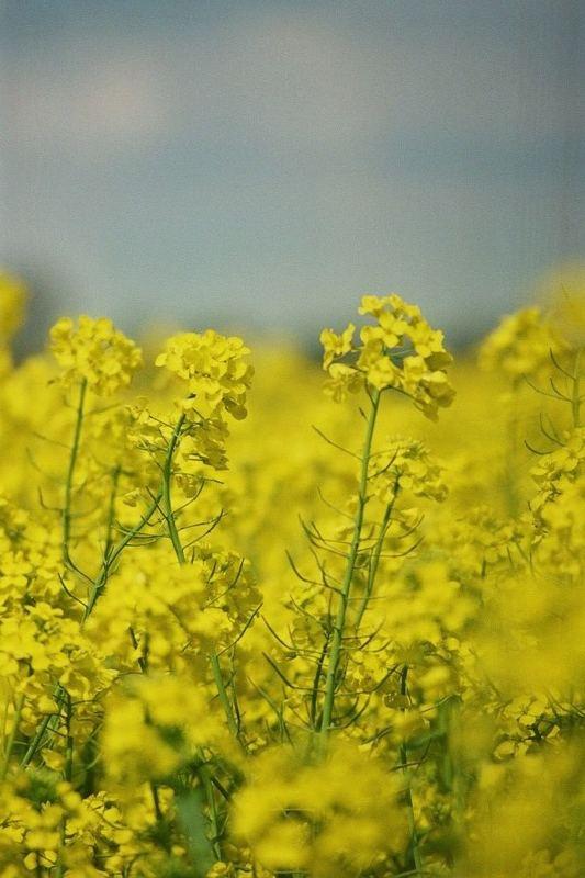 Ein Traum in gelb.