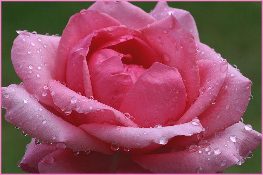 Ein Traum in Rosa
