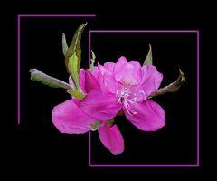 Ein Traum in Rosa # Un sueño rosado
