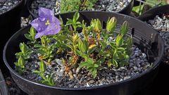 Ein Traum mit 15 weiteren Blüten im Ansatz bei Campanule raineri....