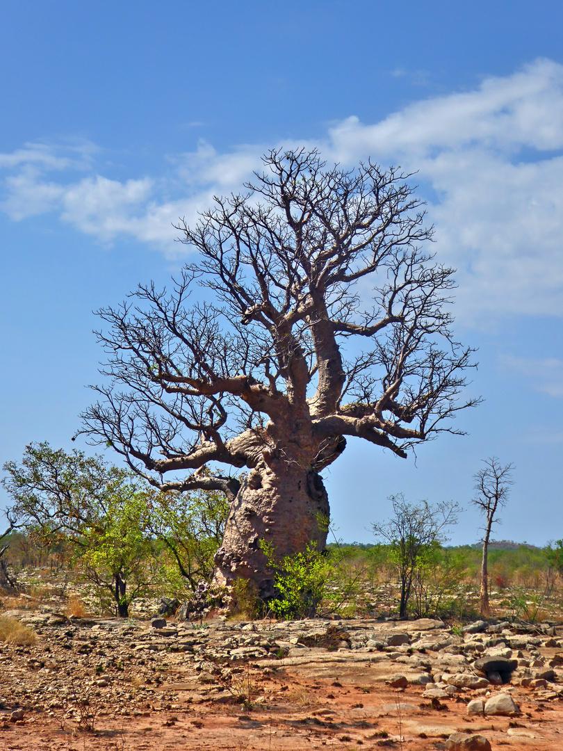 Ein Traum von einem Baum - knorrig und urtümlich - Boab Tree