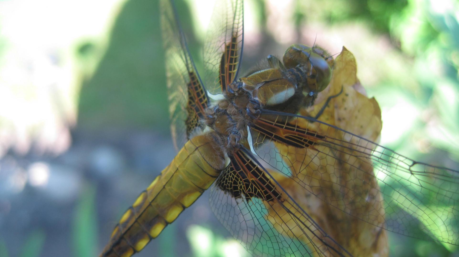 Ein Traum von Libelle
