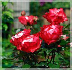 Ein Traum von Rosen