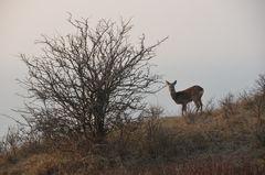 Ein treffen mit dem Reh auf Hiddensee