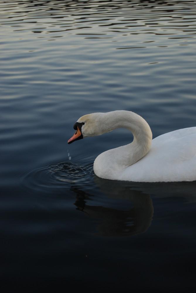 ein trinkener schwan