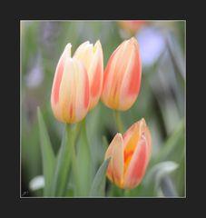 Ein Tulpen-Gruß zum WE
