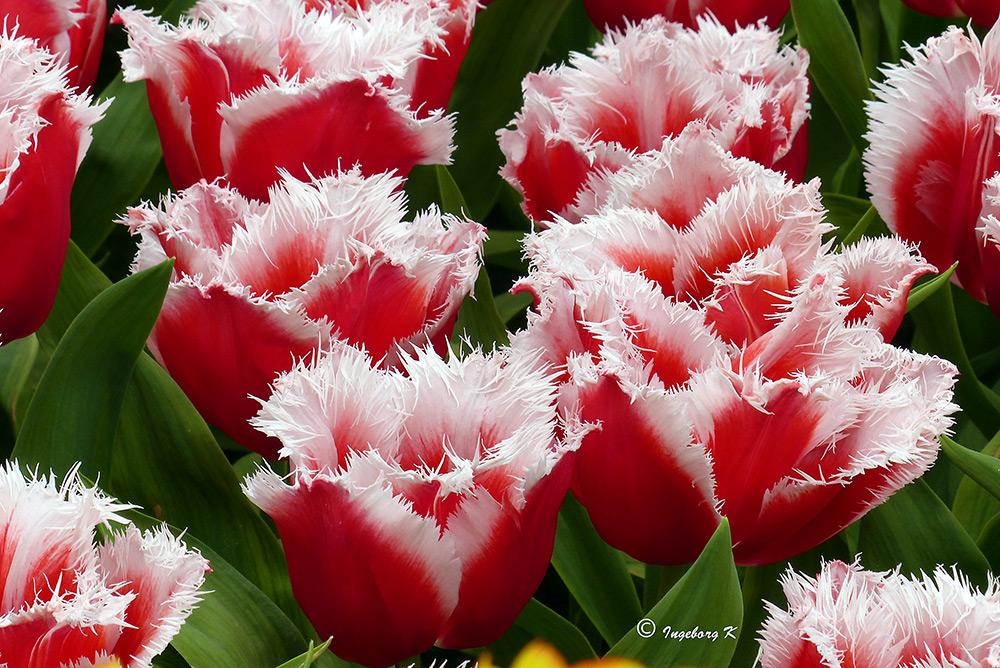 Ein Tulpengruß aus Holland