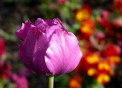 Ein Tulpengruß zum Wochenende