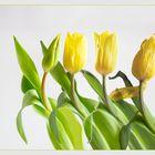 Ein Tulpenleben lang