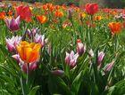 Ein Tulpenmeer so weit das Auge reicht