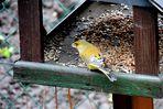 Ein unbekannter Besucher ( wer kennt diesen Vogel?)
