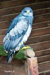 Ein ungewöhlicher Adler - Wildgehege Hellenthal