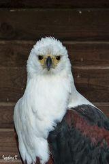 Ein ungewöhnlicher Adler - Wildgehege Hellenthal
