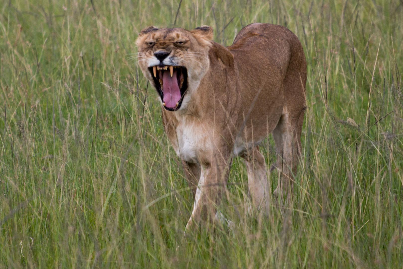 Ein unzufriedener Löwe