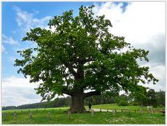 Ein uriger Baum - Die Kreuzeiche bei Ansbach