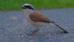 ein Vögelchen, angefahren auf der Straße (un pájaro, atropellado en la carretera)