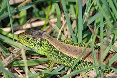 Ein wärmeliebendes Reptil, die Zauneidechse.