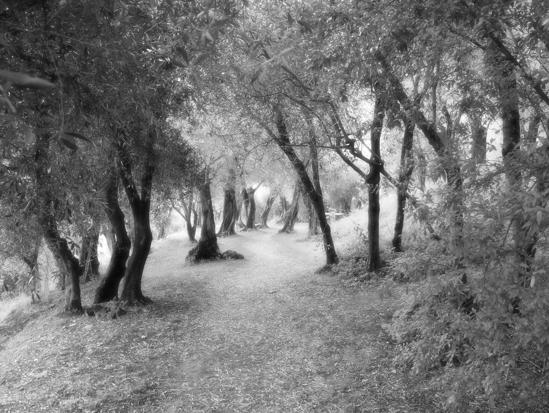 Ein Wald mit Olivenbäumen