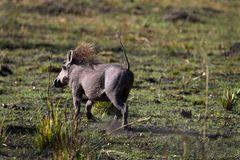 Ein Warzenschwein sucht im Mamili Nationalpark das Weite