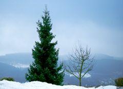 Ein Weihnachtsbaum  aus dem  Sauerland !