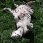 ein weißer Tiger genießt sein Leben