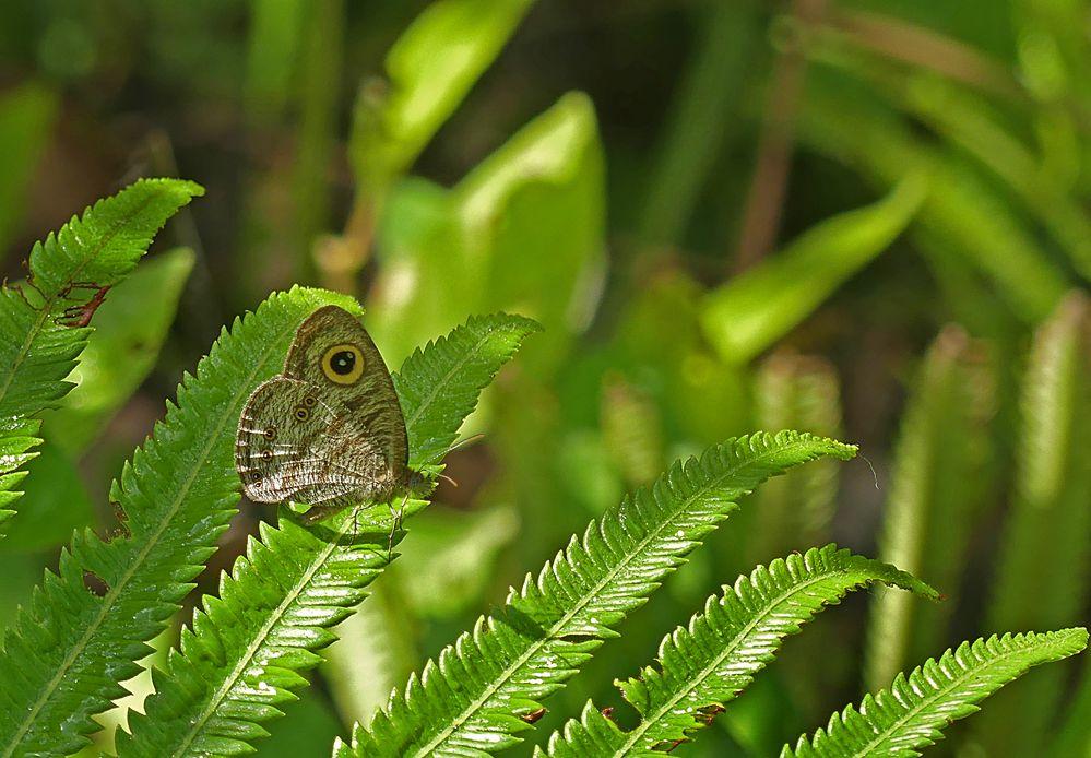 Ein weiterer Borneo-Augenfalter