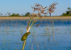 """Ein weiterer """"Reed frog"""" im Okavango Delta"""