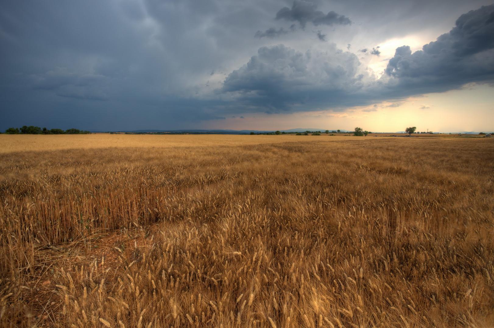 Ein Weizenfeld kurz vor dem Gewitter