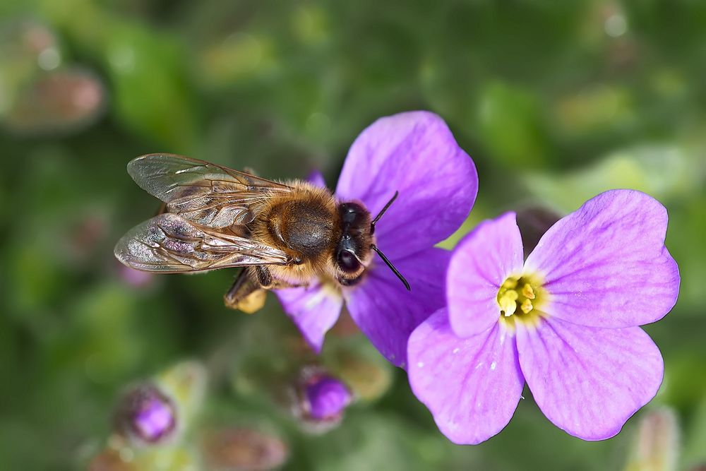 Ein wertvolles Foto, denn Bienen werden selten! - Les abeilles deviennent rares!