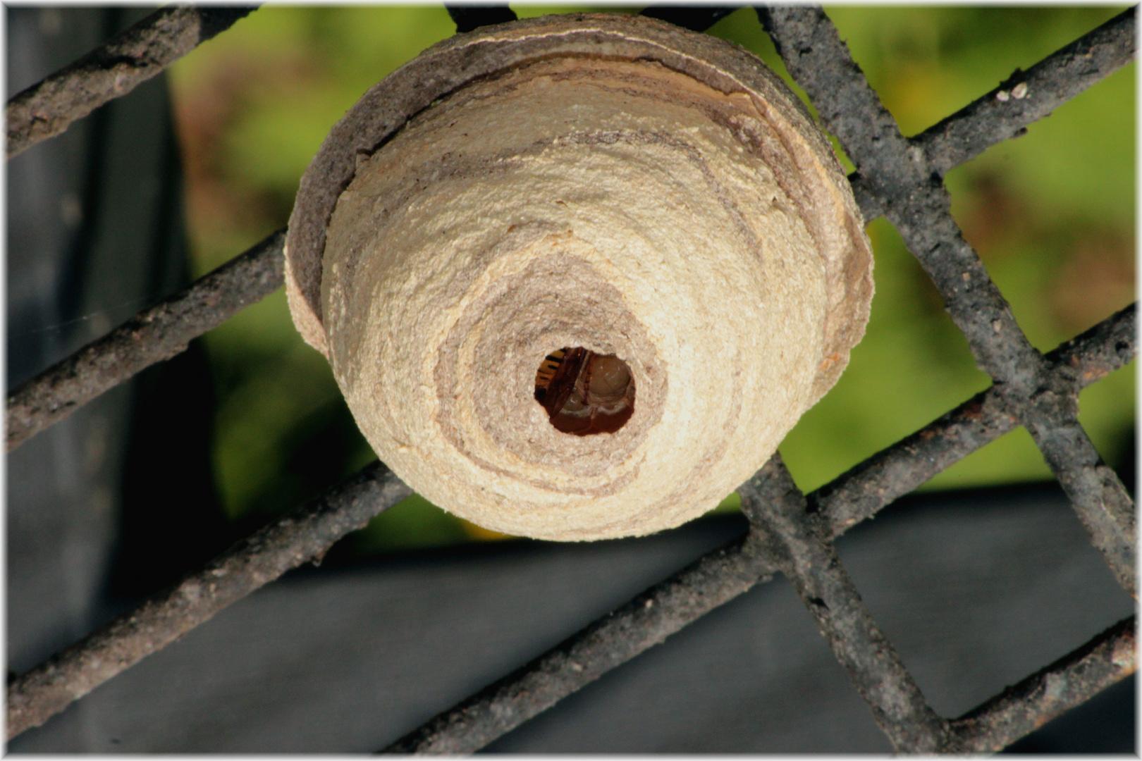 Ein Wespenstaat entsteht - Wespenkönigin mit Larven