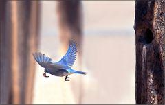ein western blue bird