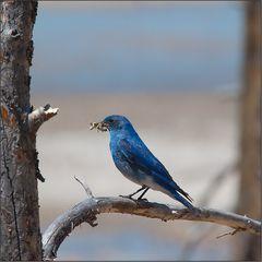 """ein """"western bluebird"""" - mit raupen-futter"""