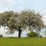 Ein wildes Apfelbäumchen