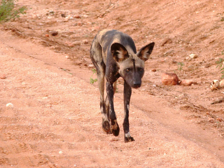 Ein Wildhund im Tsavo West