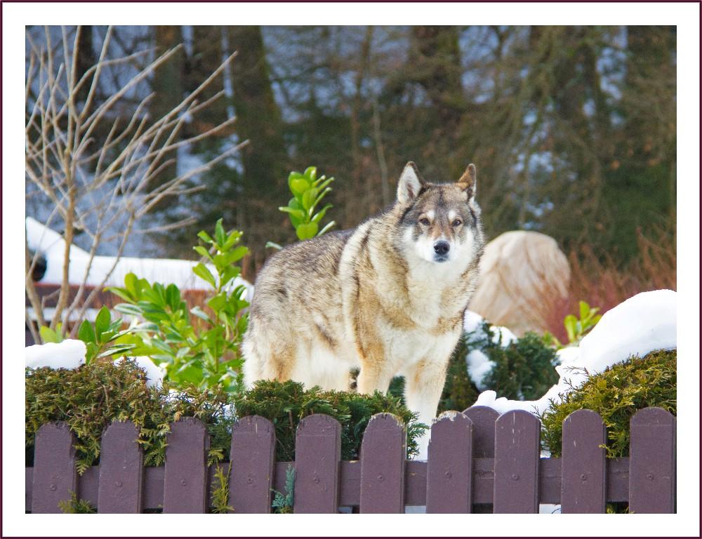 Ein Wolf ??????????????