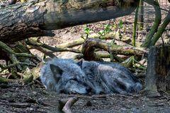 Ein Wolf ist stets wachsam