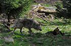 Ein Wolf schleicht davon