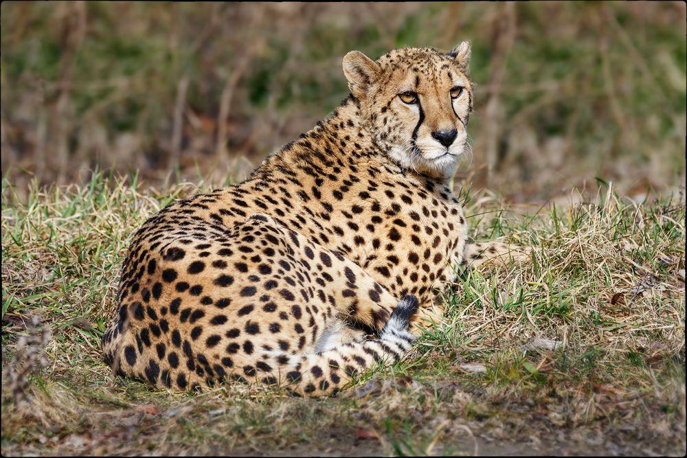 Ein wunderschöner Gepard -