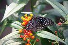 ein wunderschöner Schmetterling