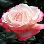 Ein zarter Rosengruss...